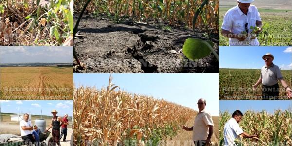 """DEZASTRU ÎN JUDEŢUL BOTOŞANI. Culturi compromise pe 100.000 de hectare, pagube de milioane de euro şi fermieri disperaţi. """"De la seceta din '46 nu a mai fost aşa ceva"""" GALERIE FOTO&VIDEO"""
