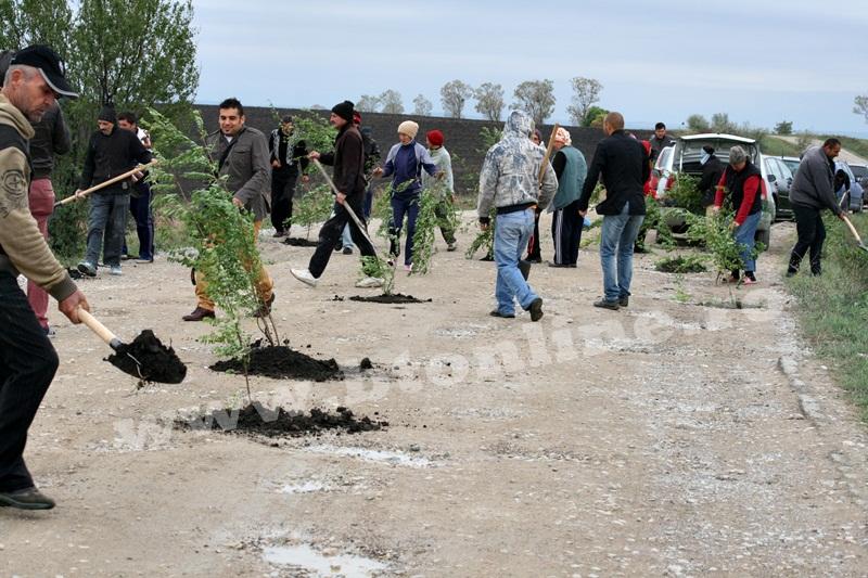 dingeni, copaci plantati pe drum judetean, protest  (10)
