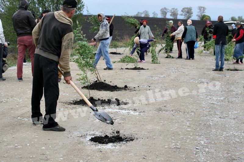 dingeni, copaci plantati pe drum judetean, protest  (11)