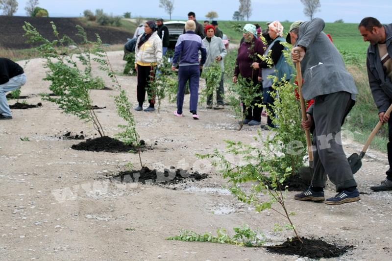 dingeni, copaci plantati pe drum judetean, protest  (16)