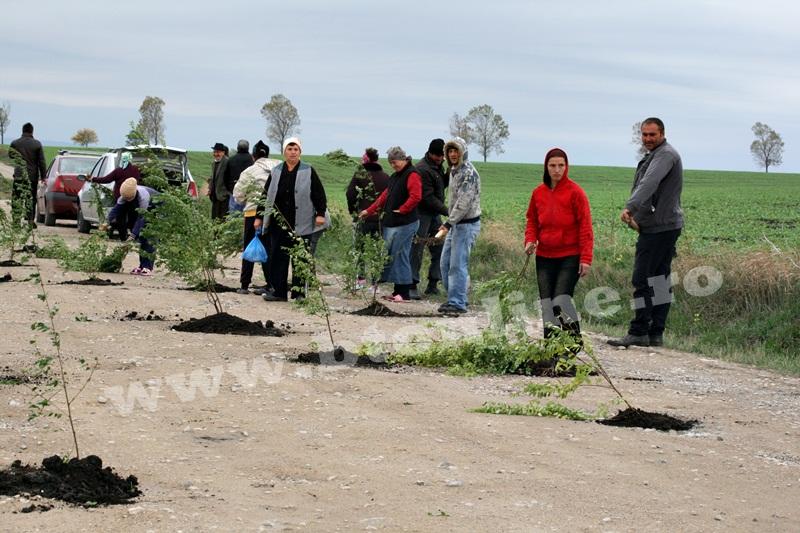 dingeni, copaci plantati pe drum judetean, protest  (17)