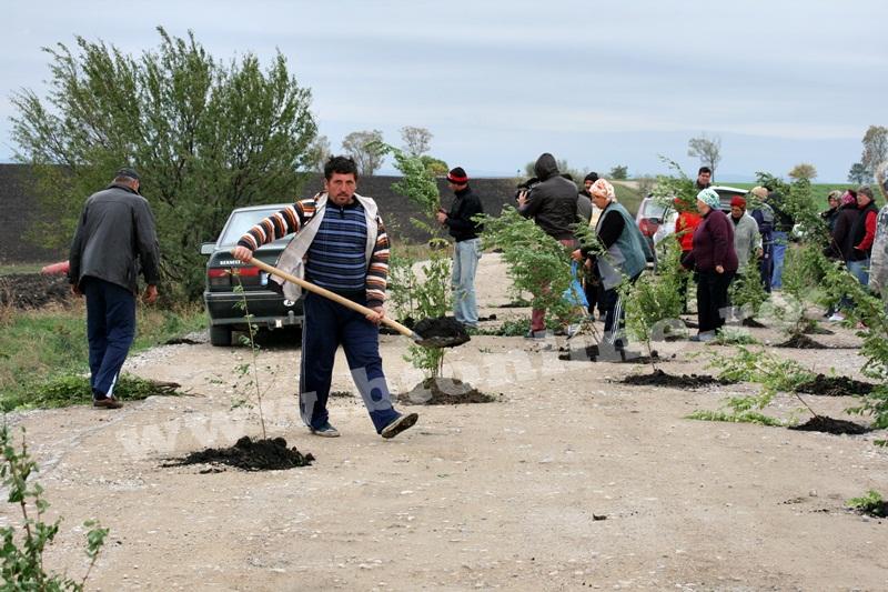 dingeni, copaci plantati pe drum judetean, protest  (21)
