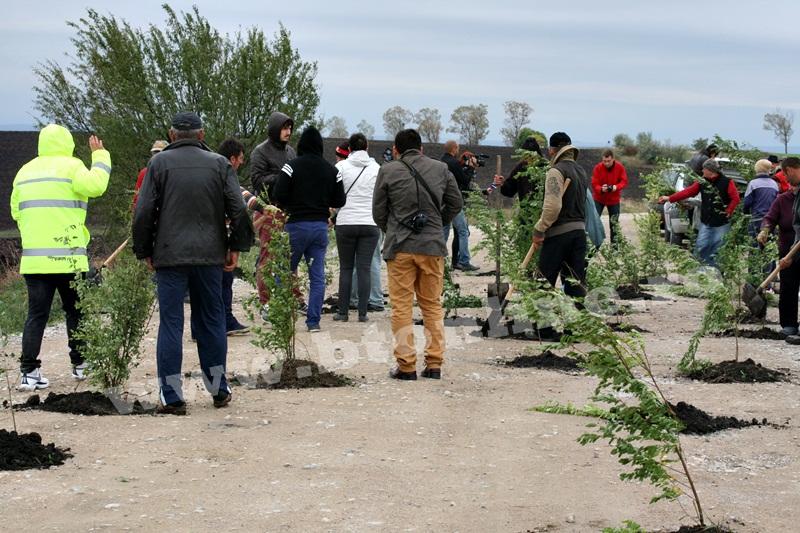 dingeni, copaci plantati pe drum judetean, protest  (22)