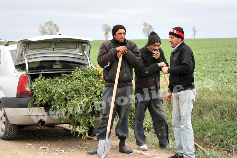 dingeni, copaci plantati pe drum judetean, protest  (24)