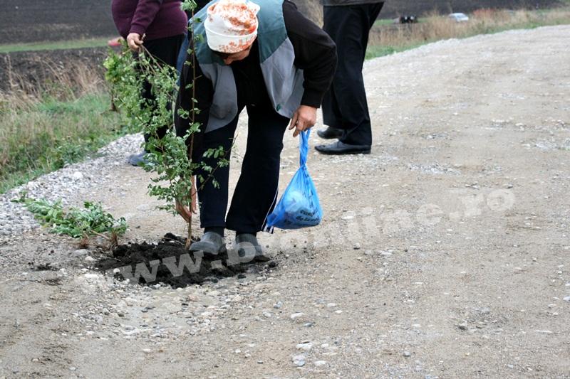 dingeni, copaci plantati pe drum judetean, protest  (4)