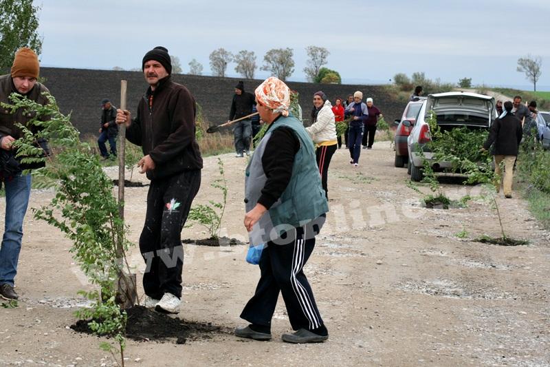 dingeni, copaci plantati pe drum judetean, protest  (8)