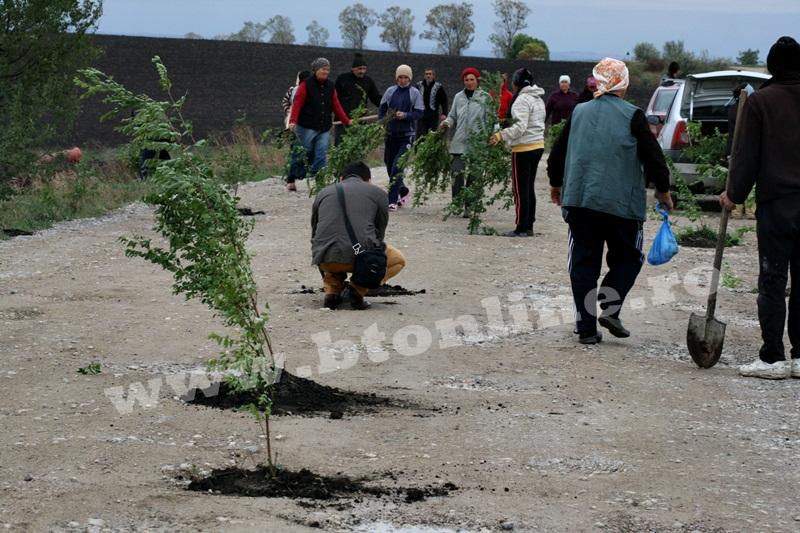 dingeni, copaci plantati pe drum judetean, protest  (9)