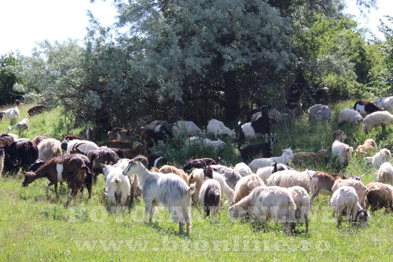 fermier hiliseu, iustin tudose, capre
