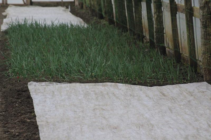 legumicultori hiliseu horia (2)